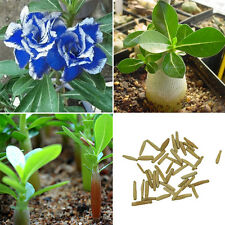 2pcs Beautiful Blue with White Side Desert Rose Flowers Plant Seeds Rosa Bonsai