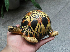 Life Size Resting Radiated Tortoise Turtle Replica Model Figurine high yellow