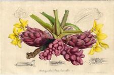 Stampa antica FIORI Disteganthus basi-lateralis 1847 Old antique print flowers