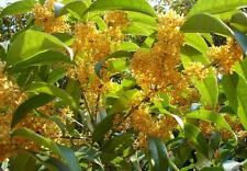 Osmanthus Fragrans Yellow 5 Seeds, Very Fragrant Olive, Cold Hardy Sweet Olive
