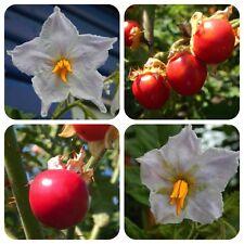 Litschitomate Litchi Tomate Lulita seltene Tomatensamen 10 Samen