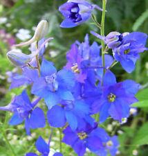 FD1631 Rare Blue Larkspur Seed Consolida Garden Flower Seeds ~1 Pack 30 Seeds~ G