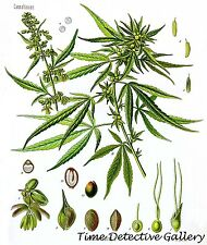 Botanical Illustration of Cannabis Sativa (3)