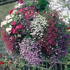 Flower seeds - Trailing LOBELIA-ROSAMOUND Fountain Rose-Lobelia Erinus