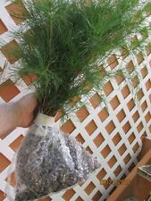 ITEM#GRNB WHITE PINE TREE 3 FOOT STARTER TREE SEEDLING 36 INCH TALL