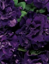 Flower seeds - Petunia - Petunia Double Cascade Blue