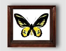 Ornithoptera rothschildi male in the frame of expensive breed of real wood