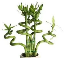 "20 Seeds Lucky Bamboo Plant ""Seeds"" bring happiness and prosperity (Not Plant)"