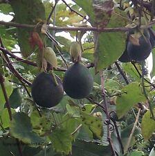 Die Granadilla Samen / blühende Pflanzen Obst für das Frühjahr den Garten Balkon