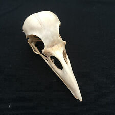CARRION CROW SKULL BIRD TAXIDERMY GOTH CRAFT DECORATION FASHION JEWELLERY WICCA