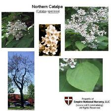 Northern Catalpa Flowering Tree, 16+in - Hefty/Dormant/Bareroot - Ready to Ship