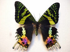 Real Butterfly/Moth Dried Insect Non Set..Urania ripheus X 2..(7.5 cm to 8 cm +)