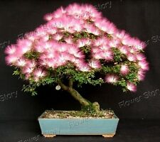 50 Albizia Julibrissin Seeds  (Persian Silk Tree, Pink Siris or Mimosa) Seeds 1