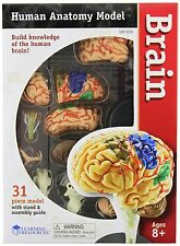 Learning Resources Brain Model, New, Free Shipping