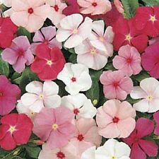 Vinca- Periwinkle- Mix Colors- 50 Seeds - 50 % off sale