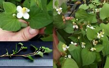 Dokudami Fish Mint Houttuynia Cordata 2x bare rooted Cuttings, Asian medicinal