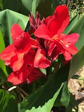 canna lily scarlet stunning