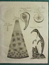 1797 georgiano impresión ~ Botánica Anatomía de las plantas de Pera seccionado Patagónico Penguin
