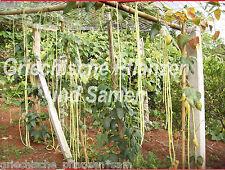 Meter-Bohne 15 Graines long de un yard 3 pieds plus 1 Mètre Haricots sans fil