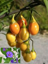Solanum Laciniatum - Kangaroo Apple - Rare Tropical Plant Shrub Seeds (10)