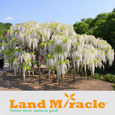 Rare Climbing Flower Plants White Wisteria seeds, Bonsai Wisteria Sinensis Tree