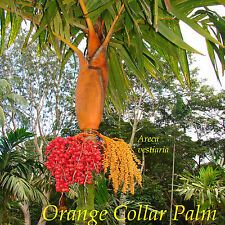 ~Orange Collar Palm~ COLORFUL RARE PALM TREE Areca vestiaria LIVE Potted PLANT