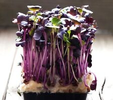 ORGANIC BIO Sprouting seeds - RADISH RED PURPLE - anti cancer - 10 GRAMS sprouts