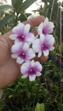 Rare orchid species (Bloom) miniature plant - Dendrobium Enopi