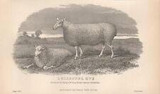 1880 ca ANTIQUE PRINT-AGRICULTURE, SHEEP, LEICESTER EWE