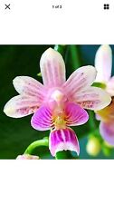 Phalaenopsis deliciosa Beautiful Phal Orchid Plant Blooming Size Mini