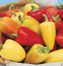 Organic Sweet Pepper 'Antohi Romanian' Frying Pepper~30 SEEDS~Romanian Heirloom