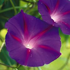 MORNING GLORY - IPOMOEA - BLACK KNIGHT - 60 FINEST SEEDS