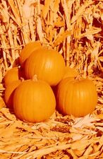 SPIRIT HYBRID PUMPKIN SEEDS * COMPACT PLANT USES VERY LITTLE SPACE *7  7 SEEDS *