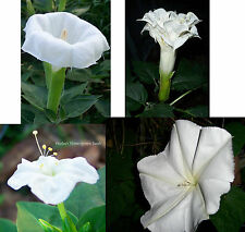 Night Garden #2 Fragrant White Flowers-4 seed packs/price 3! Datura,Four Oclocks