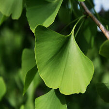 "Fossil Tree Ginkgo biloba Fan shaped leaves 1 Tree 15""-22"" tall Very Hardy"