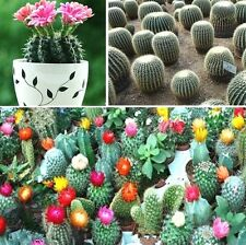 FD943 Mixture Of Cactus Flower Color Plant Cactus Indoor Plant Seeds Seed 10PC!