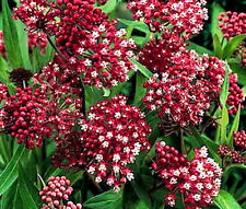 BUTTERFLY WEED ROSE Asclepias Incarnata - 100 Bulk Seeds