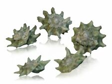Green Star Craft Shells (Pack of 5 Shells) Sea-Shells, Craft Shells, Seashells