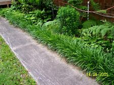 Groundcover Big Blue Liriope Monkey Grass 25 plugs Plant Now For Next Spring