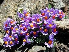 50 Linaria Alpina Seeds a.K.a Alpine Toadflax.low-growing ground cover plant