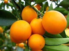 Semi-Dwarf Meiwa Kumquat Sweet Citrus Fruit Tree