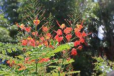 *30 seeds *DWARF RED POINCIANA* CAESALPINIA PULCHERRIMA