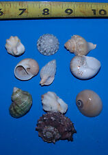 10 - ASSORTED  tiny - small Hermit Crab Shells FREE SHIPPING item # LL10h