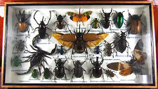 Real Butterfly Insect Bug Taxidermy Display Wooden Framed Box Big Set FS gpasy 2