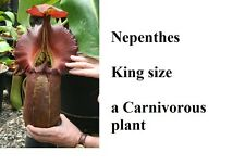 10 semi nepenthes king