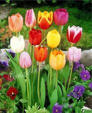 IN STOCK 10 MIXED DARWIN HYBRID TULIP PERENNIAL AUTUMN GARDEN FLOWER BULB CORM