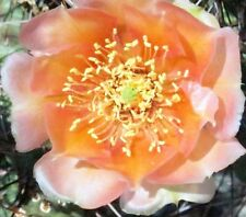Winter Hardy Miniature Prickly Pear Opuntia Cactus CORAL COLORED FLOWERS!!!