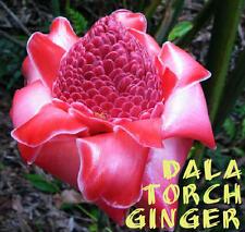 ~DALA TORCH GINGER~ Elegant Etlingera corneri RARE Thai Zingiberaceae 15 Seeds