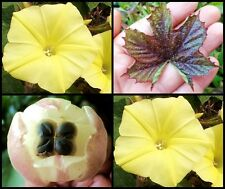 *Uncle Chan* 20 Seed Yellow Grape Leaf Wood Rose Very Rare Morning Glory Cute