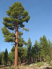 Pinus jeffreyi JEFFREY PINE TREE Seeds!